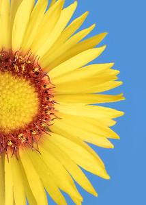 Gaillardia aristata   Blanketflower