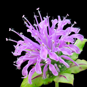 Wild Bergamot also known as Bee Balm