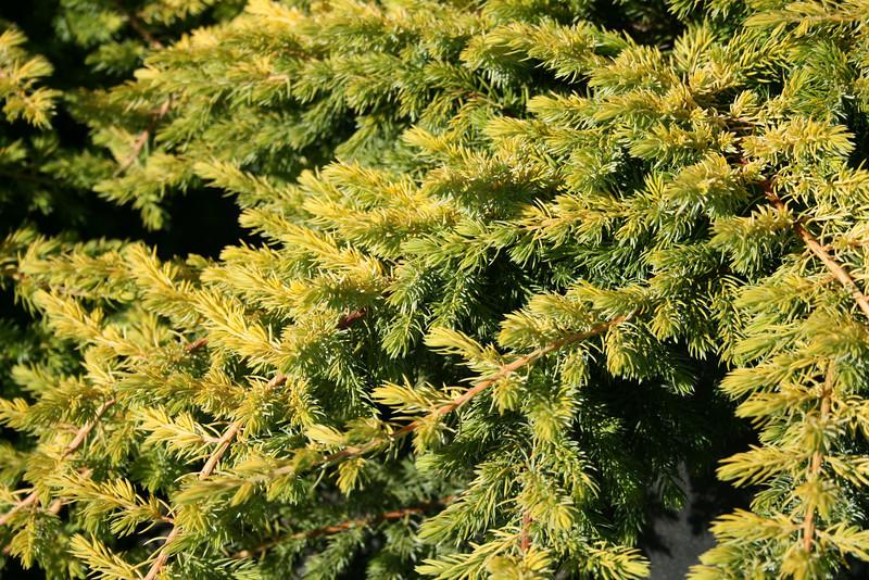 Golden Pacific™ Juniper http://www.gardendebut.com/golden-pacific-juniper.php