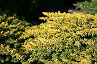 Golden Pacific™ Juniper http://www.gardendebut.com/golden-pacific-juniper.php