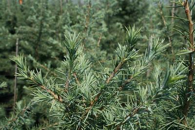 Sterling Frost™ Deodar Cedar http://www.gardendebut.com/sterling-frost-deodar-cedar.php