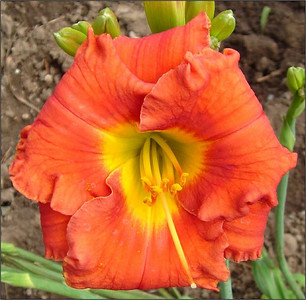 Caribbean Coral™ Daylily PPAF http://www.gardendebut.com/caribbean-coral-daylily.php