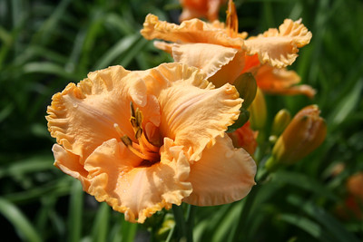 Bermuda Peach™ Daylily PP23402 http://www.gardendebut.com/bermuda-peach-daylily.php