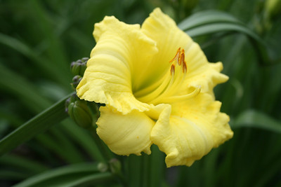 Montego Melon™ Daylily PP23112 http://www.gardendebut.com/montego-melon-daylily.php
