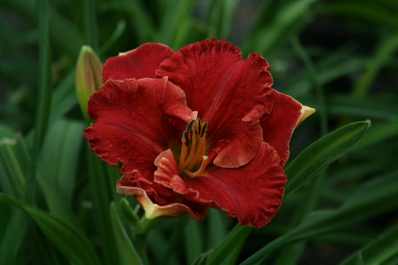 Aruba Red™ Daylily PPAF http://www.gardendebut.com/aruba-red-daylily.php
