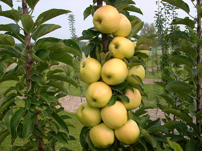 Golden Treat™ Urban Apple® http://www.gardendebut.com/golden-treat-urban-apple.php