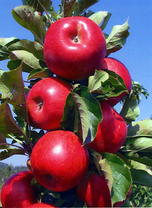 Tasty Red™ Urban Apple® http://www.gardendebut.com/tasty-red-urban-apple.php