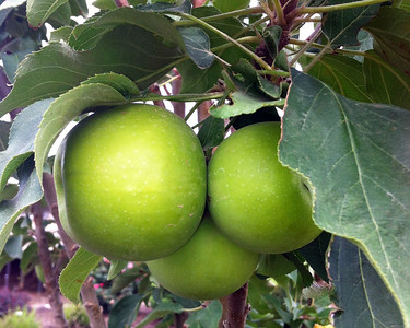 Tangy Green™ Urban Apple® http://www.gardendebut.com/tangy-green-urban-apple.php