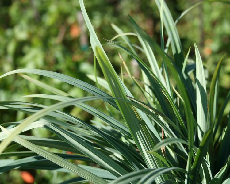 Bunny Blue® Sedge Grass http://www.gardendebut.com/bunny-blue-sedge-grass.php