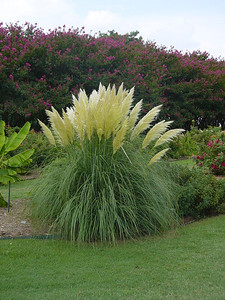Jet Streams™ Dwarf Pampas Grass http://www.gardendebut.com/jet-streams-dwarf-pampas-grass.php
