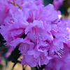 Abbey's Re-View® Rhododendron http://www.gardendebut.com/abbeys-review-rhododendron.php