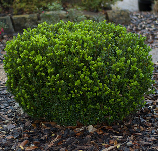 Baby Gem Boxwood PP21159 http://www.gardendebut.com/baby-gem-boxwood.php
