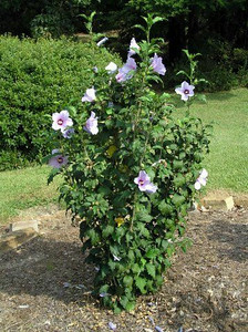 Blue Angel™ Althea http://www.gardendebut.com/blue-angel-althea.php