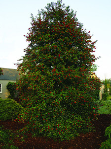 Christmas Jewel® Holly PP14477 http://www.gardendebut.com/christmas-jewel-holly.php