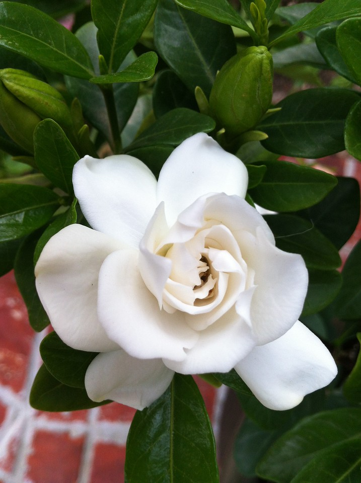 Crown Jewel Gardenia PP19896