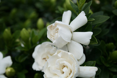 Crown Jewel Gardenia PP19896 http://www.gardendebut.com/crown-jewel-gardenia.php
