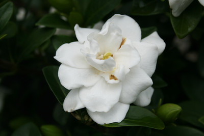 Crown Jewel Gardenia