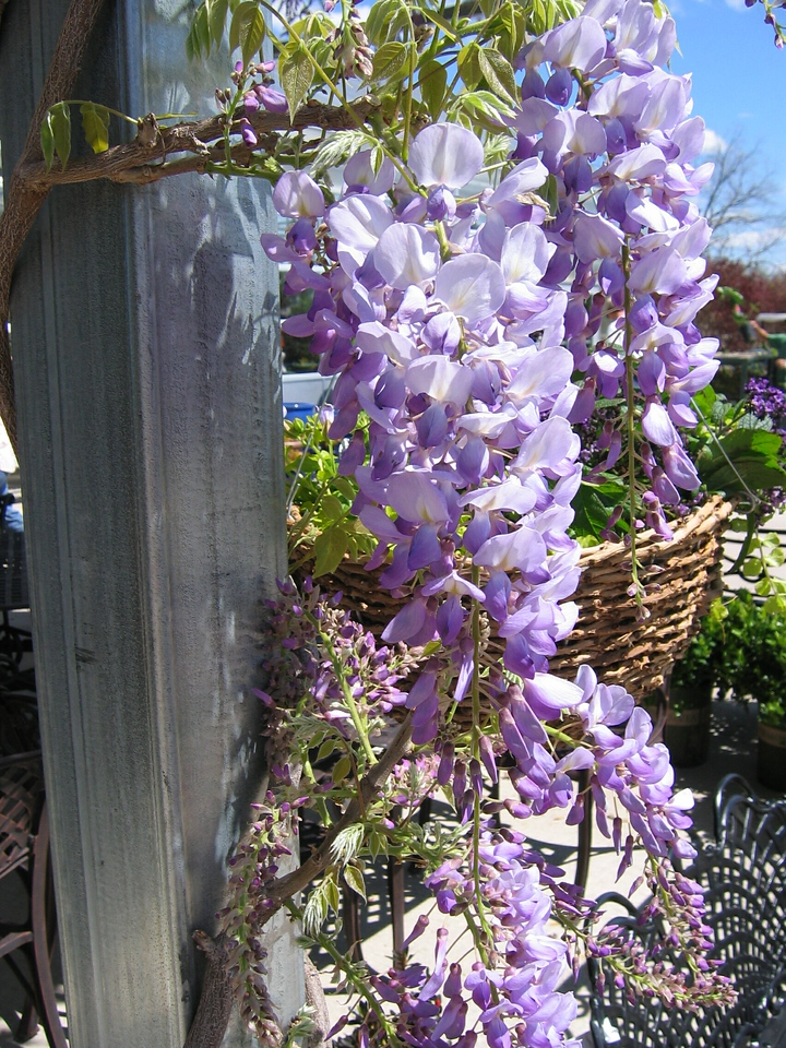 Lavender Falls Wisteria PP19655