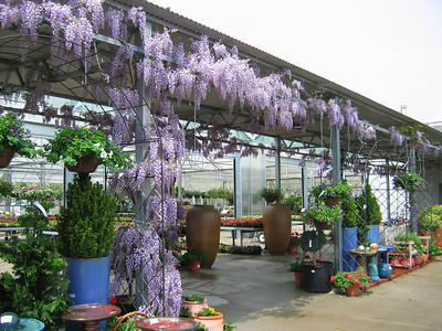 Lavender Falls Wisteria PP19655 http://www.gardendebut.com/lavender-falls-wisteria.php