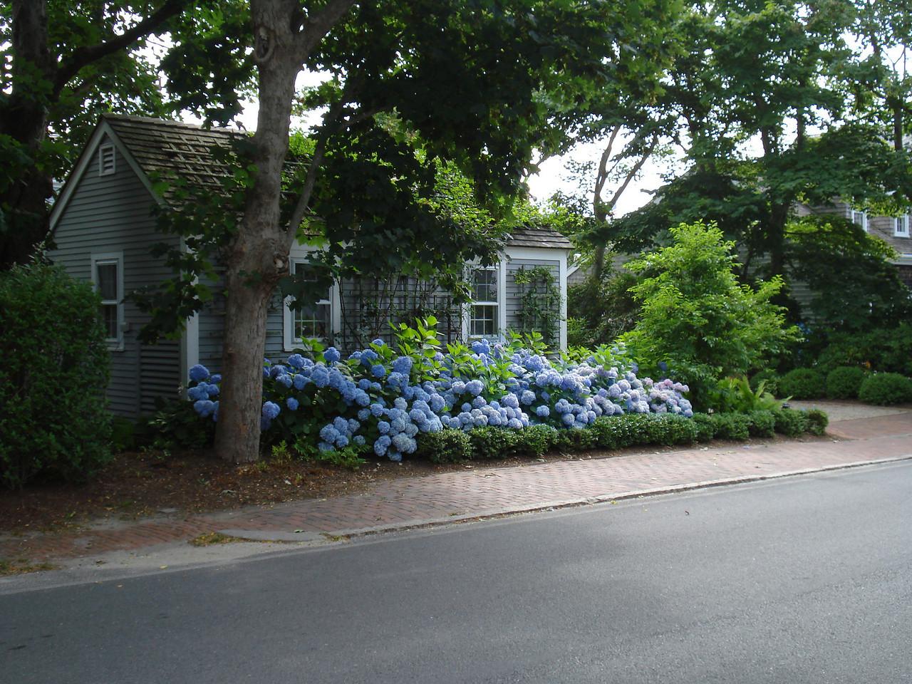 Nantucket Blue™ Hydrangea http://www.gardendebut.com/nantucket-blue-hydrangea.php