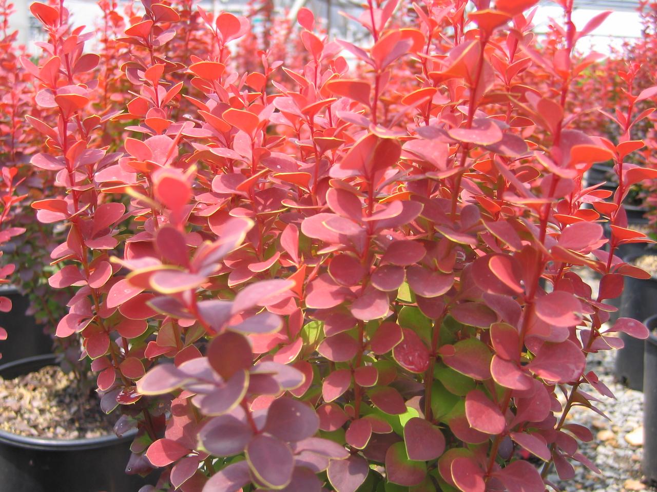 Orange Rocket Barberry PP18411 http://www.gardendebut.com/orange-rocket-barberry.php
