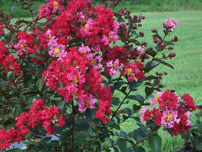 Princess Zoey™ Crapemyrtle http://www.gardendebut.com/princess-zoey-crapemyrtle.php