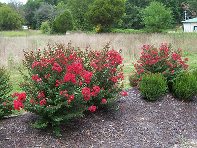 Princess Holly Ann™ Crapemyrtle http://www.gardendebut.com/princess-holly-ann-crapemyrtle.php