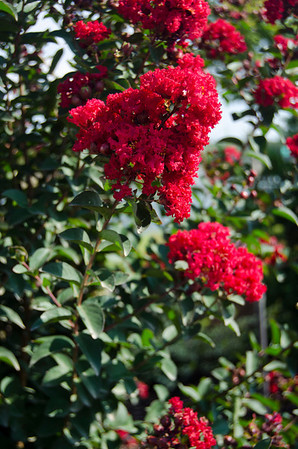 Princess Crapemyrtles