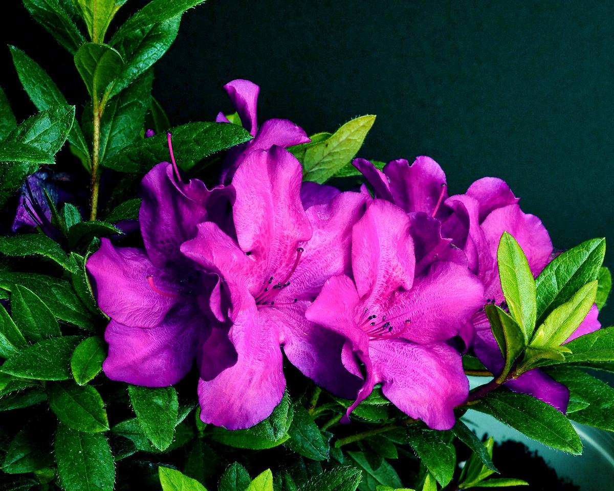 Purple Spectacular™ ReBLOOM™ Azalea PPAF http://www.gardendebut.com/purple-spectacular-rebloom-azalea.php