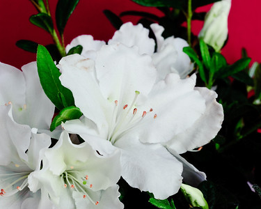 White Nobility™ ReBLOOM™ Azalea PPAF http://www.gardendebut.com/white-nobility-rebloom-azalea.php