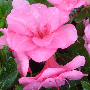Cherry-Pink Prestige™ ReBLOOM™ Azalea http://www.gardendebut.com/cherry-pink-prestige-rebloom-azalea.php