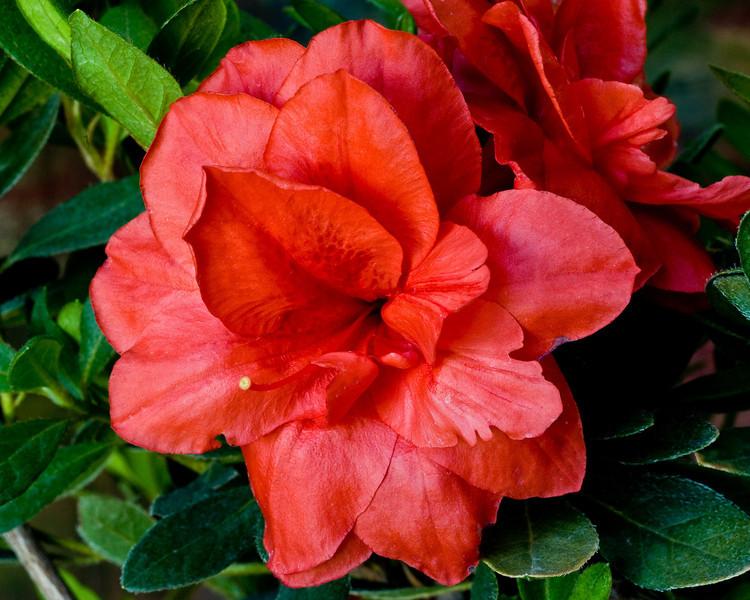 Coral Amazement™ ReBLOOM™ Azalea PPAF http://www.gardendebut.com/coral-amazement-rebloom-azalea.php