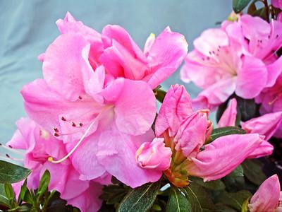 Pink Adoration™ ReBLOOM™ Azalea PPAF http://www.gardendebut.com/pink-adoration-rebloom-azalea.php