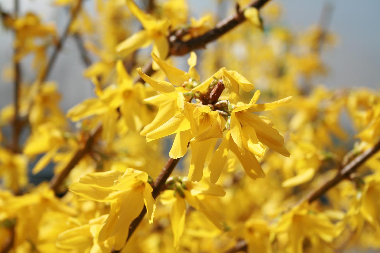 Showy Border™ Forsythia http://www.gardendebut.com/showy-border-forsythia.php