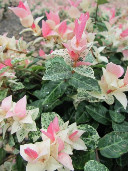 Snow N Summer® Asiatic Jasmine http://www.gardendebut.com/snow-n-summer-asiatic-jasmine.php