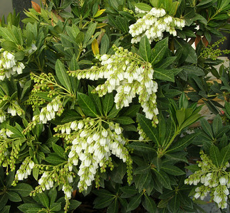 Southern Lady® Pieris PPAF http://www.gardendebut.com/southern-lady-pieris.php