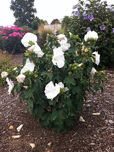 White Angel™ Althea http://www.gardendebut.com/white-angel-althea.php