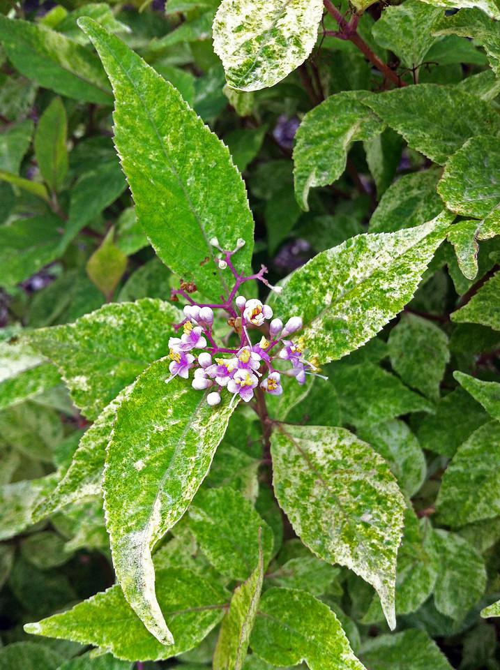 Wine Spritzer™ Beautyberry http://www.gardendebut.com/wine-spritzer-beautyberry.php