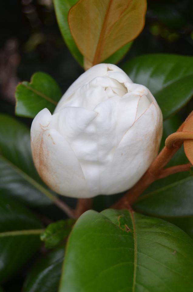 Teddy Bear® Magnolia PP13049 http://www.gardendebut.com/teddy-bear-magnolia.php