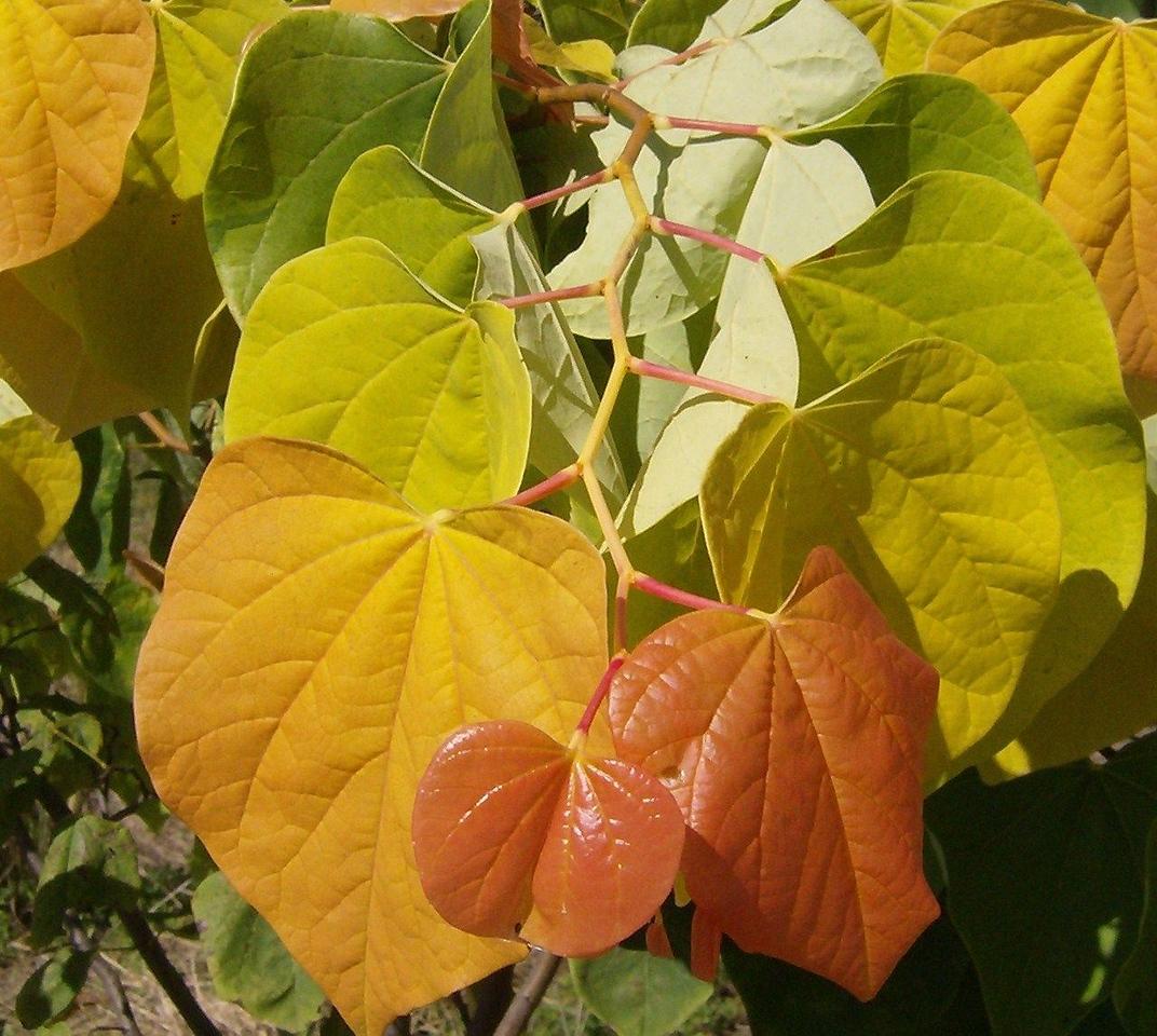 The Rising Sun™ Redbud PP21451 http://www.gardendebut.com/rising-sun-redbud.php