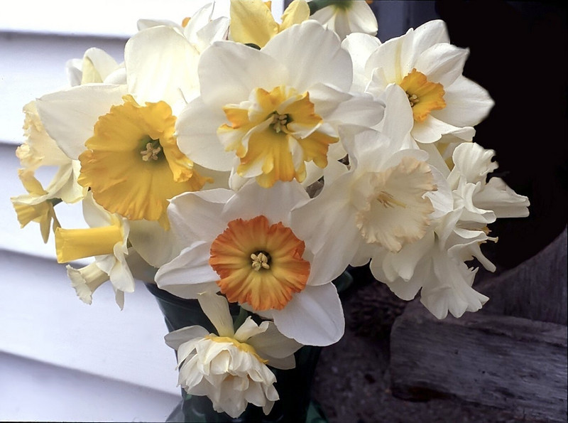 Narcissus bouquet (daffodils)