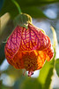 Abutilon 'Marion Stewart' (flowering maple)
