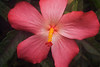 Abelmoschus 'Pacific Pink'
