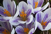 Crocus vernus (Dutch crocus), striped