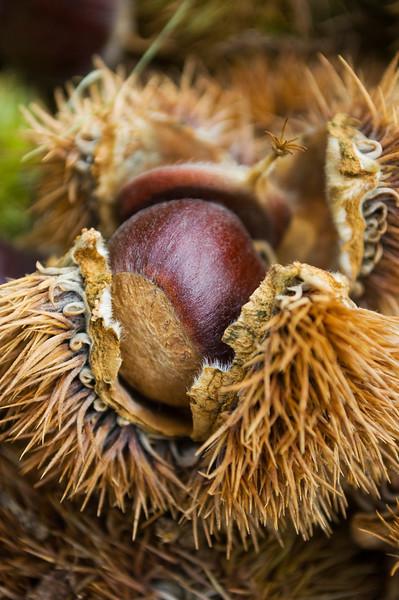 Castanea (chestnut)