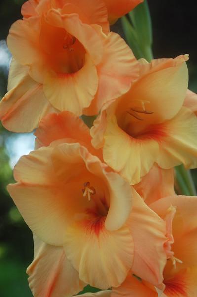 Gladiolus, peach