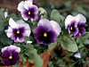 Viola x wittrockiana (pansies, scanned from photo)