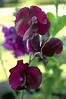 Lathyrus odoratus 'Cappucino' (sweet pea)