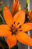 lily, orange