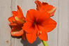 Hippeastrum 'Orange Sovereign' (amaryllis)
